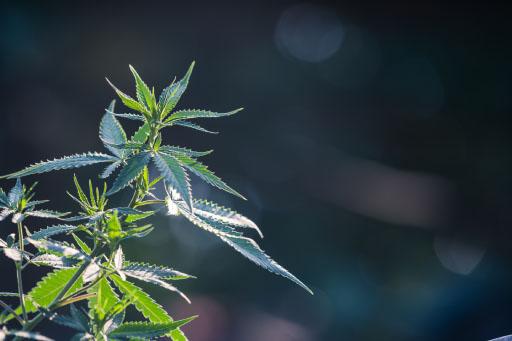 cannabis CBD Hemps.hr