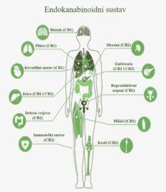 ES endocannabinoid system Hemps.hr CBD