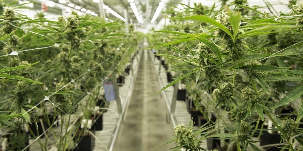 Cannabis kao pomoć pri oporavku ekonomije u EU